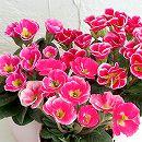 プリムラ ジュリアン:フォーチュンリング(ピンク系)2.5号ロングポット