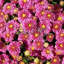 2度咲き耐寒ガーデンマム:デンティピンクイグロー3.5号ポット