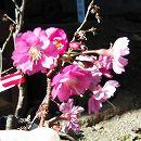 桜(サクラ):エレガンスみゆき5号ポット