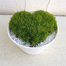 ハートのサギナ(アイリッシュモス):ライトグリーン5号鉢植え