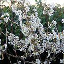 桜:湖上の舞(こじょうのまい)3号ポット
