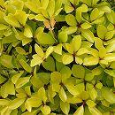 モッコク(木斛):黄金葉3.5号ポット