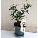 [ギフトにおすすめ!OLIVE OYLのオリジナルラベル付]オリーブ鉢植え:OLIVE OLIVE ヒスイMサイズ