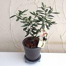 [ギフトにおすすめ!OLIVE OYLのオリジナルラベル付]オリーブ鉢植え:OLIVE OLIVE アズキMサイズ
