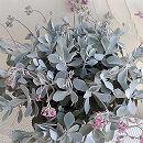 カランコエ:プミラ(白銀の舞)6号鉢植え