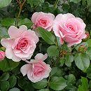 つるバラ:ピンク・ストリーム8号大型アンドン仕立て