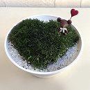 [ギフトに]ハートのサギナ(アイリッシュモス):グリーン5号鉢植え/ハート&ベア
