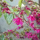 トキワマンサク:紅花青葉3.5号ポット