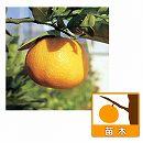 [12月上旬〜下旬収穫 柑橘・かんきつ類苗木]伊予柑(イヨカン)4〜5号ポット
