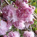 桜:菊枝垂れ(キクシダレ)接木苗4〜5号ポット