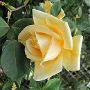 [17年5月中旬予約]オールドローズ:レディヒリンドン新苗