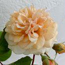 [17年5月中旬予約]つるバラ:バフ ビューティ新苗