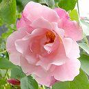 [17年5月中旬予約]つるバラ:スパニッシュビューティ新苗