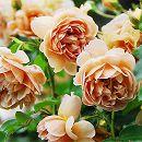 [17年5月中旬予約]四季咲中輪バラ:カフェ新苗