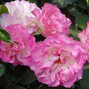 [17年5月中旬予約]四季咲中輪バラ:ストロベリーアイス新苗