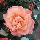 [17年5月中旬予約]四季咲中輪バラ:スブニールドゥアンネフランク新苗