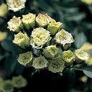 [17年5月中旬予約]ミニバラ:グリーンダイアモンド新苗