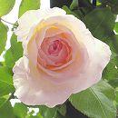 [17年5月中旬予約]つるバラ ニュードーン新苗