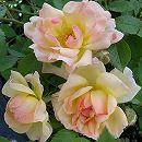 [17年5月中旬予約]つるバラ:フィリス バイド新苗