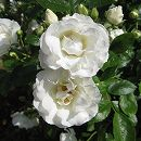 四季咲中輪バラ:サマースノー新苗