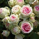 [17年5月中旬予約]四季咲中輪バラ:ミミエデン新苗