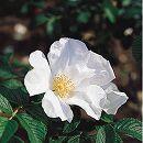 [17年5月中旬予約]ハマナス(バラ):白花一重(ルゴーサ アルバ)新苗