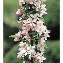 バレリーナツリー(マルス):ポルカ4〜5号ポット