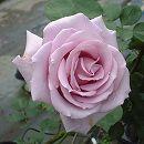 [17年5月中旬予約]つるバラ:スターリングシルバー新苗
