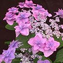 ヤマアジサイ:ミヤマヤエムラサキ(深山八重紫)3.5号ポット