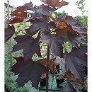 ノルウェーカエデ:クリムゾンキング樹高1.8m根巻き