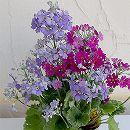 プリムラ:マラコイデス:湖畔の夢との2色植え 3.5号ポット