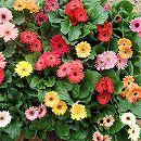 ミニガーベラ花色ミックス3.5号ポット 3株セット