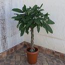 パキラ アクアティカ(編み込み) 8号鉢植え(全体の高さ約1m)