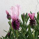 ラベンダー:ラベアンナ・ピンクロリポップ4号鉢植え