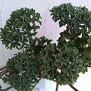 ツワブキ:福寿牡丹(フクジュボタン)5号鉢植え