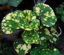 ツワブキ:青軸天星(アオジクテンボシ)5号鉢植え