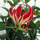 グロリオサ・ロスチャイルディアナ(赤に黄)アンドン仕立て6号鉢植え