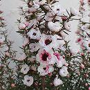 ギョリュウバイ:桜色4号ポット