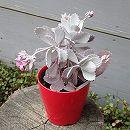 カランコエ:プミラ(白銀の舞)3.5号鉢植え