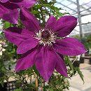 クレマチス:三州の紫(サンシュウノムラサキ)3.5号ロングポット(フロリダ系)
