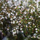 ワックスフラワー:マイクロワックス白花3.5号ポット