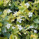 斑入りバコパ白花2.5号ポット