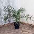 カナリーヤシ(フェニックス)8号鉢植え樹高約50cm