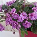 セントポーリア:ガリウィング・ピンク4号鉢植え