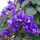 セントポーリア:ガリウィング・ブルー(ワガワガ)4号鉢植え