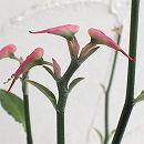 ペディランサス:チシマロイデス アカイコトリ(赤い小鳥)4号鉢植え