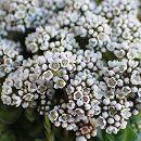 多肉植物:クラッスラ:ソシアリス 雪の妖精2号ポット