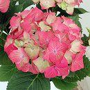西洋アジサイ:マスカレード5号鉢植え