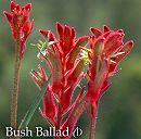 カンガルーポー:ブッシュジェム レッド 5号鉢植え