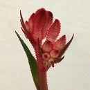 カンガルーポー:ブッシュジェム 濃ピンク 5号鉢植え